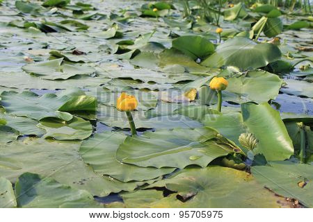 Yellow water flowers ( Nuphar Lutea )
