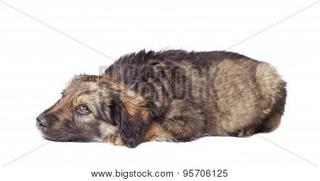 sad puppy mutts lies on a white background poster