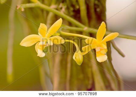 Phalaenopsis cornu cervi