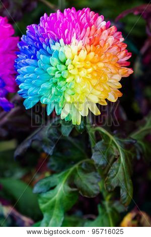 Colorful of rainbow Chrysanthemum flower on black background poster
