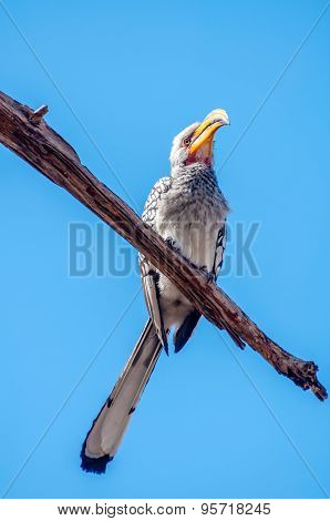 Southern Yellow Billed Hornbill