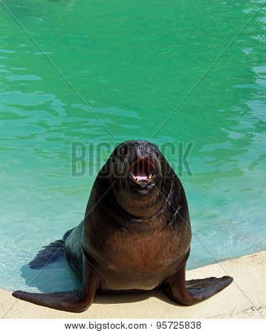 Black seal with open mouth