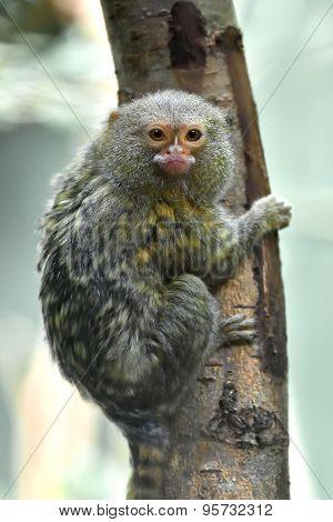 Pygmy Marmoset (cebuella Pygmaea)