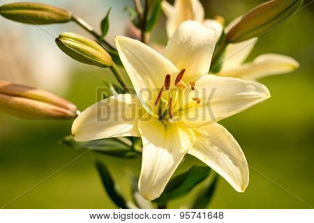 Yellow Lily Flowers In The Garden, Lilium