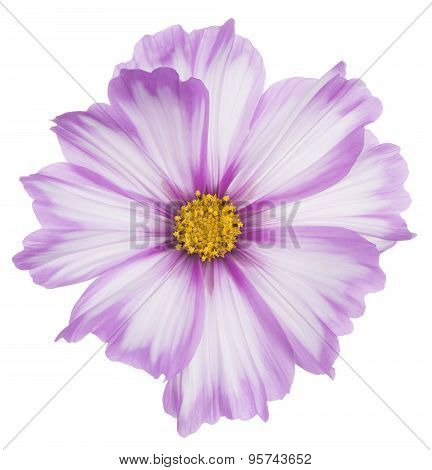 Studio Shot of Fuchsia and White Colored Cosmos Flower Isolated on White Background. Large Depth of Field (DOF). Macro. poster