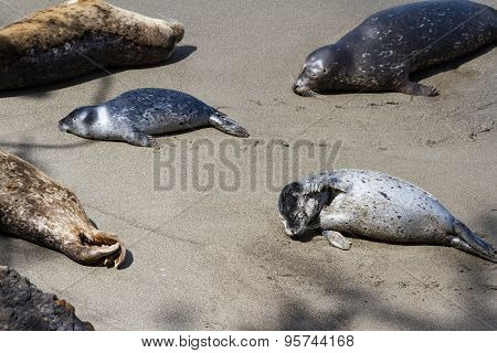 Common Seals On The Coast