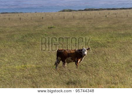 Young Baby Cow