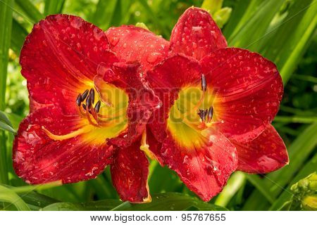 Two Bright Red Day Lilies In A Garden