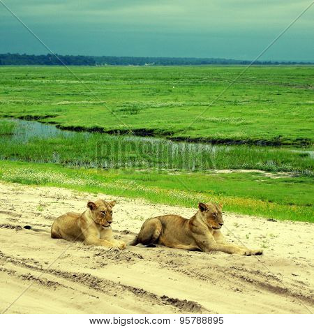 Lioness Lying On The Sand Road In Savanna, Botswana
