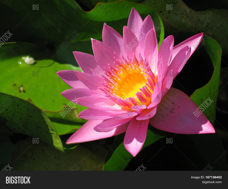Purple Water Lily Image Photo Free Trial Bigstock