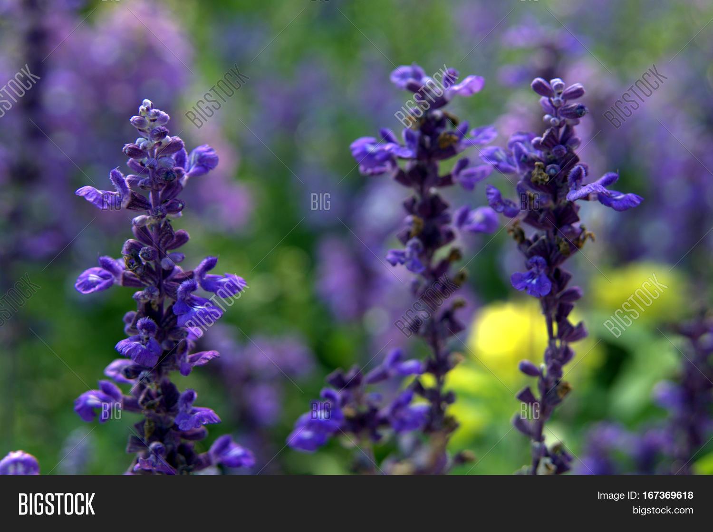 Tall Purple Lavender Plant Flowers Image Photo Bigstock