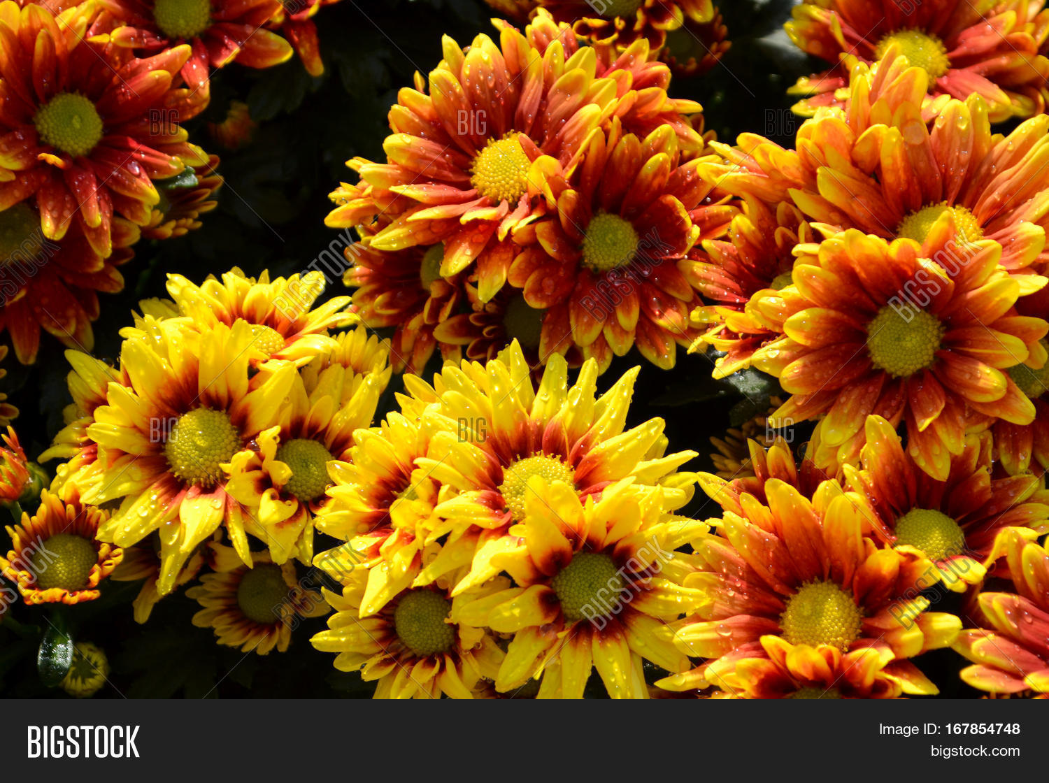 Flower called orange flowers healthy these are orange and yellow flowers and has yellow pollen called chrysanthemum or florist s mun or these orange yellow image photo free trial bigstock mightylinksfo