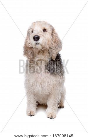 Basset Griffon Vendeen sitting in front of a white background