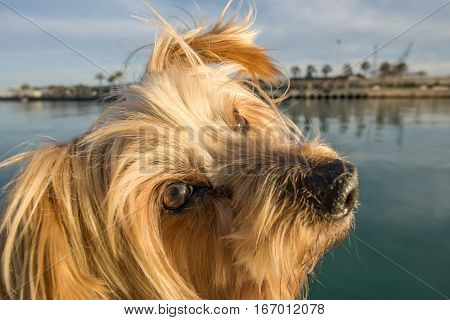 Dog face. Wide angle Yorkshire Terrier brown doggie raising his ears tilting his head. Maritime background