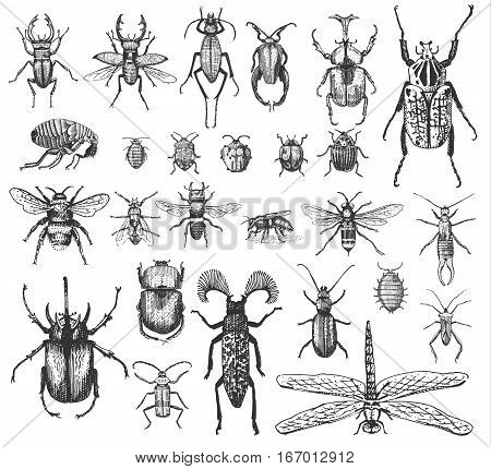big set of insects bugs beetles and bees, fleas many species in vintage old hand drawn style engraved illustration woodcut animals