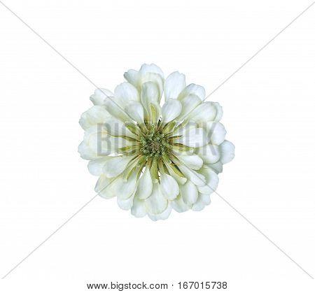 Bright light white flower zinnia isolated on white background