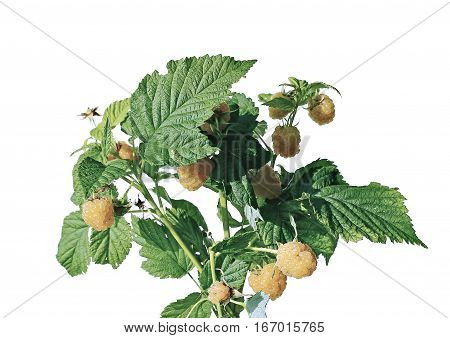 Branch with berries yellow sweet raspberry isolated on white background