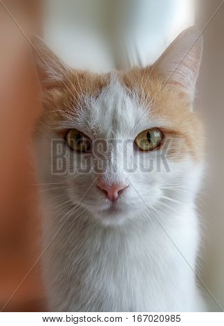 Beautiful white and red cat is looking at camera