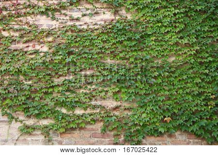 Some green ivy leaves covering a wall