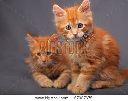 Two Adorable Red Solid Maine Coon Kitten Sitting With Relaxing Look With Beautiful Brushes On The Ea