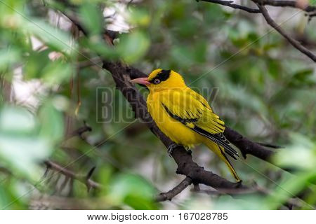 Bird (black-naped Oriole) On A Tree