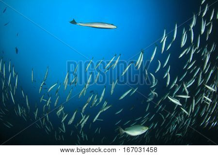 Underwater fish school. Snapper fish in ocean