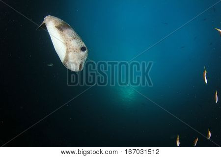 Porcupinefish puffer fish