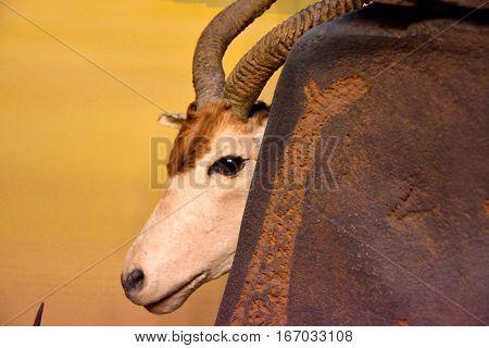 Antelope Addax species of safari , savana animal