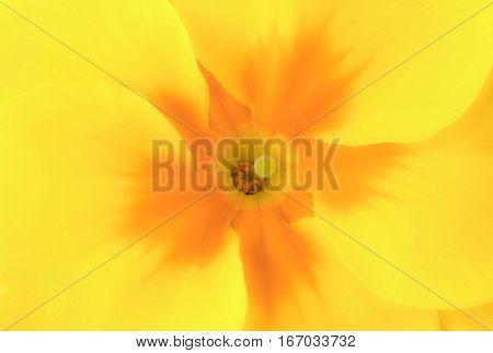 Closeup of a vibrant yellow primrose primula with an orange center.