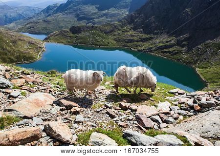 Track in Snowdonia National Park, North Wales, United Kingdom; view of the mountains and the lakes, two sheep, selective focus