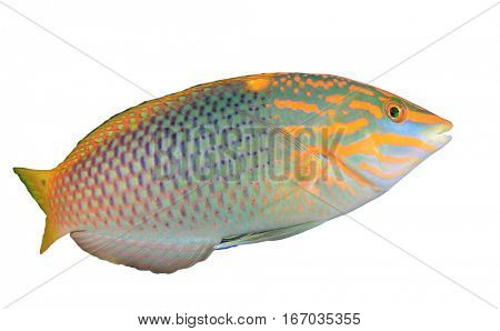Tropical fish isolated. Checkerboard Wrasse. Fish on white background