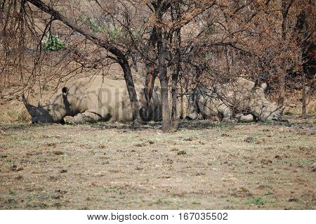 Two large african rhinos lying under a tree