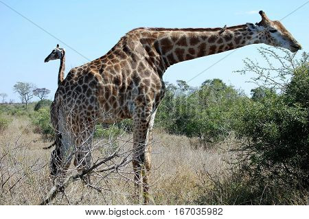 Magnificent African giraffe with long neck eating