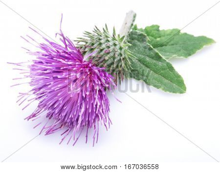 Milk thistle (Silybum) flower isolated on the white background.