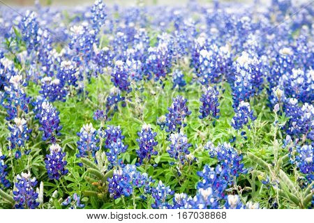 A field of bluebonnets the Texas state flower in soft focus creates a pleasant rustic background scene.