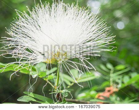 A bright white fluffy prairie acacia wildflower.