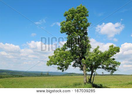 light green deciduous tree standing in a meadow