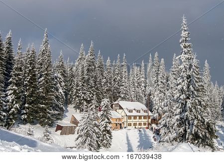 Multi-storey cottage among centuries-old pine trees covered with snow. Winter. Mountain Dragobrat Western Ukraine.