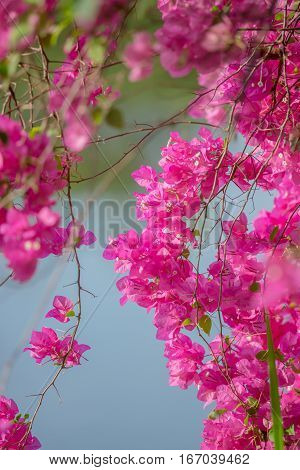 close up of pink Paper Flower Bougainvillea glabra