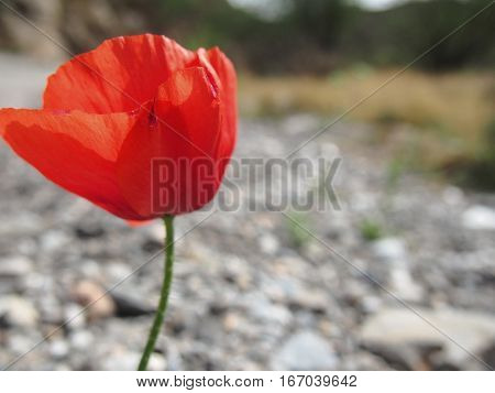 A single red poppy grows in the wild.