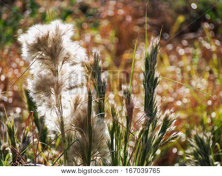 Tall brushy bluestem grass a native Texas grass in the late summer sun.