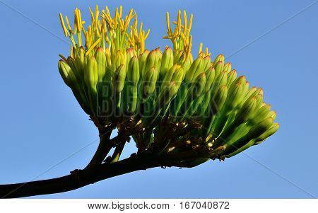Cluster with floral buds of agave that begin to bloom