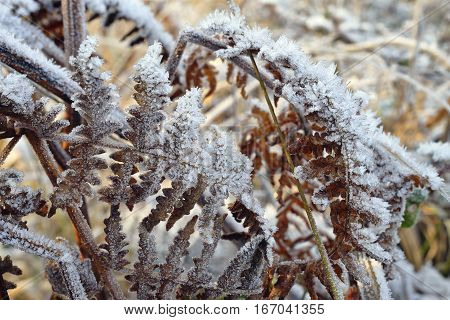 Frost on Dead Bracken Fronds - Pteridium aquilium