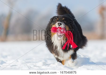 Dog With A Toy Runs In The Snow
