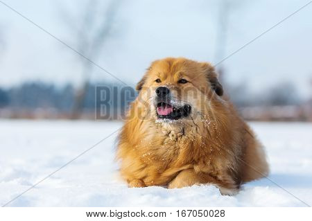 Elo Dog Lies In The Snow