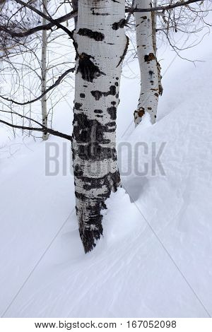 Birch aspen trees in the winter snow outdoors