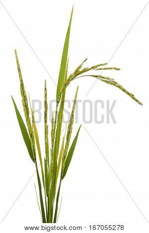 paddy rice isolated on white background .