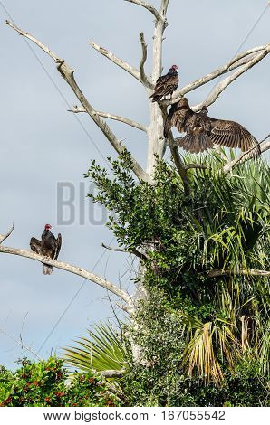 THREE TURKEY BUZZARDS IN THREE DIFFERENT POSES IN A TREE
