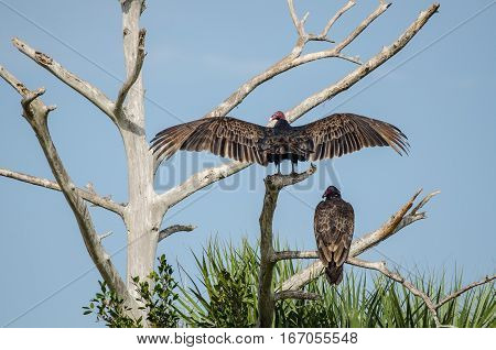 TWO TURKEY BUZZARDS WITH ONE SPREADING ITS WINGS ABOVE THE OTHER