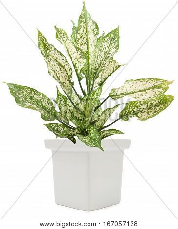 Dieffenbachie Lat Dieffenbachia Green Plant In Flower Pot